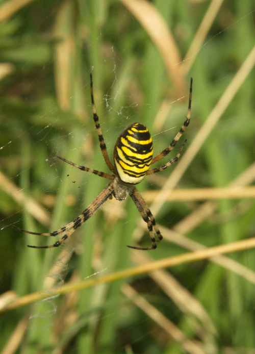 Wasp Spider (Argiope bruennichi - Hadleigh Country Park, Essex.  Copyright 2014 Ross Gardner.