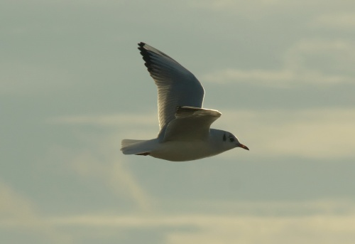 Black-headed Gull (Larus ridibundus).  Ross Gardner 2014.