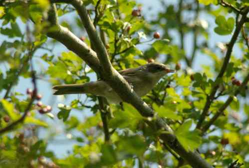 Whitethroat fill the scrub at Wat Tyler.  Copyright 2014 Ross Gardner.