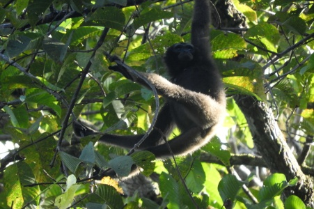 Bornean Gibbon 2 (scaled)