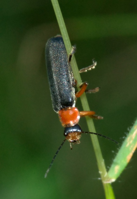 Cantharis nigricans - Pound Wood